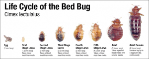 Killing different age bed bugs fast