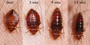 How to Kill a Feeding Bed Bug