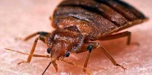 How to kill bed bugs fast and urgent