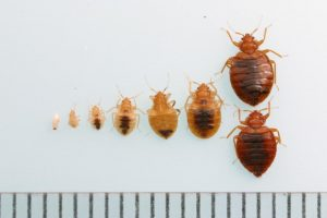 Different sizes of bed bugs